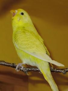 Žltý vták