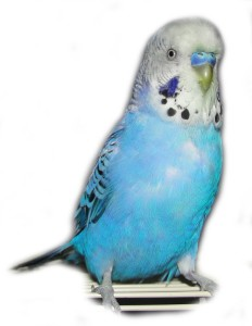 Male blue budgie