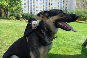Sedlo na psa pre amálku