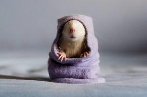 Malý potkan