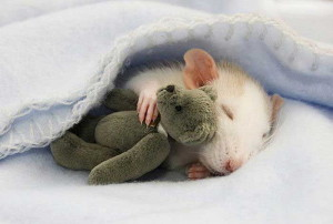 Spiaci potkan