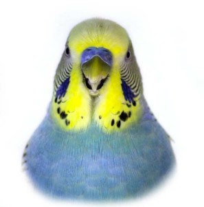 Closeup of a yellow and blue parakeet